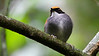 This cherub is a Black-cheeked Gnateater, a bird of the Atlantic Forest understory. Photo by guide Marcelo Padua.