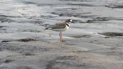 A Collared Plover doesn't mind muddy feet. This species is uncommon along waterways in Amazonia. Photo by participant Ken Havard.
