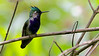 Green-crowned Plovercrest tuc16 Marcelo Padua
