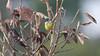 Painted Tody-Flycatcher mao16b Ken Havard