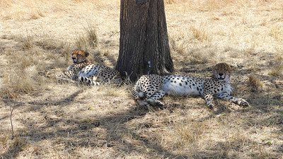 These Cheetahs found some shade and looked like they weren't going anywhere for a while. Photo by participant Glenda Brown.