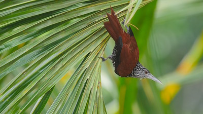 A Point-tailed Palmcreeper exhibiting classic behavior. Photo by guide Bret Whitney.
