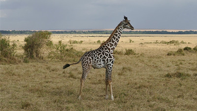 There's nothing inconspicuous about a Common Giraffe. Photo by participant Randy Siebert.