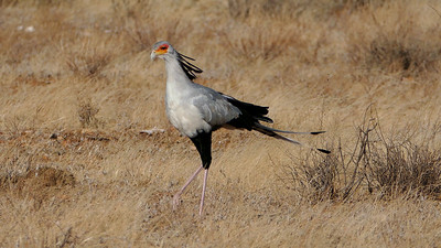 The unmistakable Secretary-bird patrols the savanna for insects, small mammals, lizards, and snakes. Photo by participant Randy Siebert.