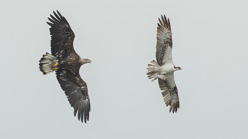 Bald Eagle chase Osprey 7 cap16 Doug Gochfeld