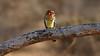 Red and Yellow Barbet at Samburu ken16 Randy Siebert