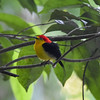 You can just make out the wispy retrices on this Wire-tailed Manakin against the leafy background. Photo by participant Becky Hansen.