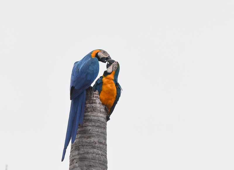 A pair of Blue-and-yellow Macaws shared a touching moment. Photo by participant Becky Hansen.