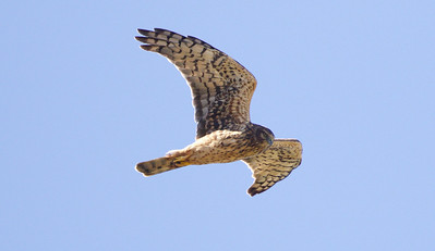 This adult female Northern Harrier passed right over guide Cory Gregory.