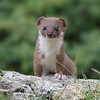 A Stoat! We were in the right spot at the right time to see this inquisitive little weasel. Photo by participant Bill Byers.