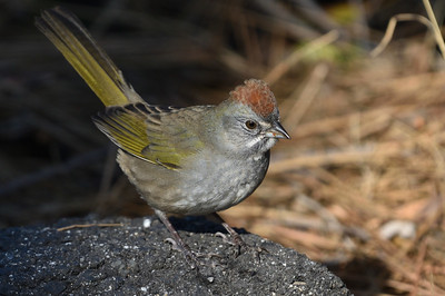 The subtle beauty of Green-tailed Towhee in a lovely portrait by participant Doug Clarke.
