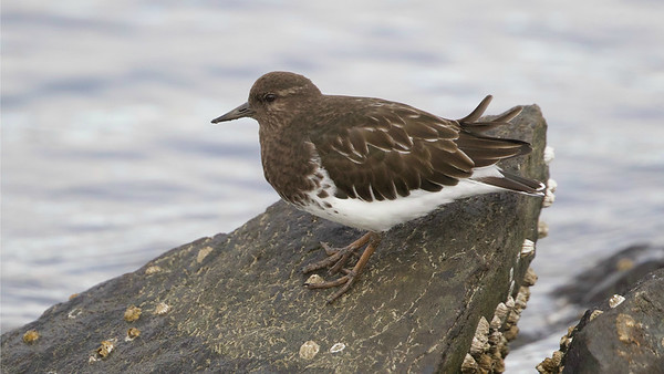 This Black Turnstone was most obliging. Photo by guide Cory Gregory.