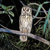 Striped Owl was one the highlights during one of our night drives. Photo by participant Merrill Lester.