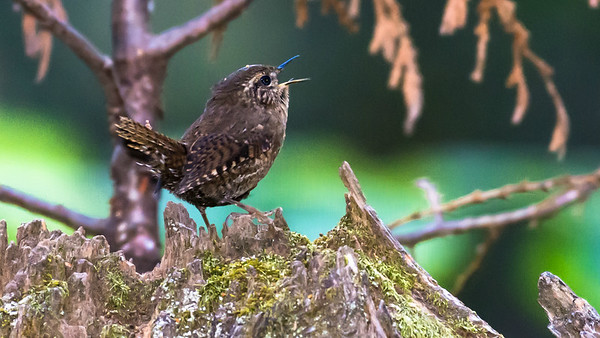 Participant David Baker caught this Pacific Wren belting it out.