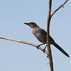 Is Woodhouse's Scrub-Jay a familiar name? In 2016, Western Scrub-Jay was split in two, and Woodhouse's is the form we see on our Arizona tours. Photo by participant Jeannette Shores.