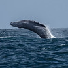 Seeing a Humpback Whale is thrilling; catching one breaching with your camera is a lifetime experience! Photo by participant David Baker.