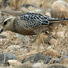 This Eurasian Dotterel really blended in with the stones and dried vegetation.  Photo by participant Bill Byers.