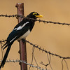 Yellow-billed Magpie is one the regional specialties we target in California. Photo by participant David Baker.