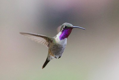 "Yes, someone ""has"" to look at Lucifer Hummingbird while on the job...! Photo by guide Cory Gregory."