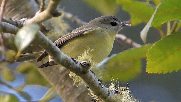 Normally found nowhere near the West Coast, this Philadelphia Vireo was a welcome write-in to one of our Slice of California triplists. Photo by participant Doug Clarke.