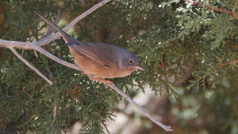 Tristram's Warbler, a North African specialty, sports a lovely hue. Photo by guide Jesse Fagan.