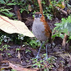 For a ground-dwelling bird like this White-bellied Antpitta, stilt-like legs come in handy. Photo by participant Wayne Kittle.