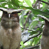 We scored a pair of roosting Crested Owls right behind Sacha! Photo by participant Paul Kittle.