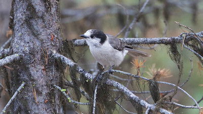The Pacific race of Gray Jay has a much darker head than the birds in The Rockies. Photo by guide Cory Gregory.