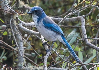 Another regional specialty is the beautiful California Scrub-Jay. Photo by participant Karen Chiasson.