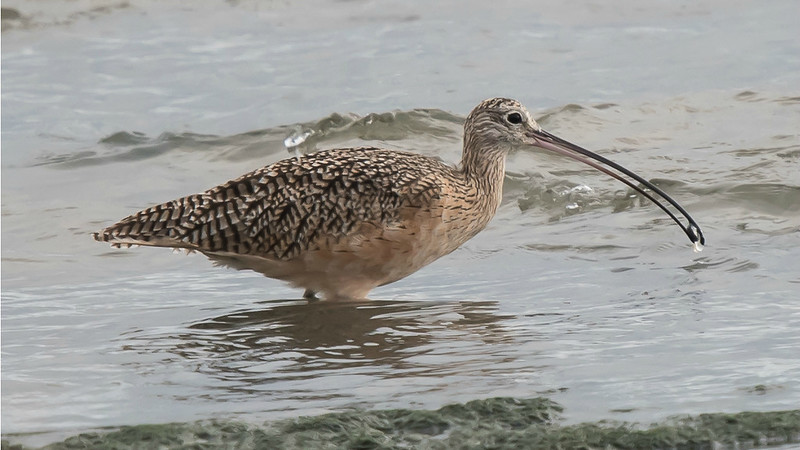 This Long-billed Curlew has a firm grasp on its prey. Photo by participant Karen Chiasson.