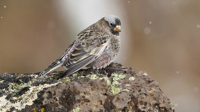 ...great looks at Black Rosy-Finch. Photo by guide Cory Gregory.