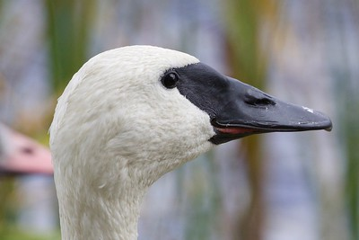 Tundra Swan vs. Trumpeter Swan can be a real ID challenge. A look this good at facial skin and feather edges makes it easier. Guide Cory Gregory photographed this Trumpeter Swan.