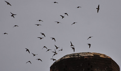 "The ""reverse smoke"" of Vaux's Swifts descending into a smokestack to roost is a mesmerizing phenomenon we'll target on the new tour. Photo by guide Cory Gregory."