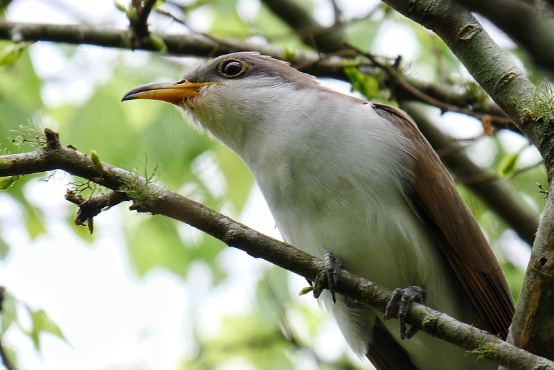"""Yellow-billed Cuckoo, often a """"heard only"""" on the breeding grounds, frequently offers some fine looks as it arrives on the Texas coast. Photo by Bret Whitney. We hope you enjoyed this month's short gallery...we'll be back in May with more photos from our Texas, Colorado, Florida, and Arizona tours that are operating, for starters!.Till then, good birding!"""