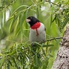 """A male """"bleeding-heart"""" Rose-breasted Grosbeak never gets old as a spring migration sighting. Photo by participant Judie Dunn."""