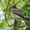 This Eastern Wood-Pewee photographed by Bret Whitney, who accompanied guide John Coons and group on the tour, gave us a fine ID study.