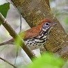 This Wood Thrush popped up into the trees to offer a fine view to the group. Photo by Bret Whitney.