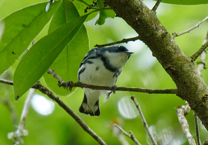 Cerulean Warbler is often a sought-after species for many participants on this tour, and we had some fine views. Photo by Bret Whitney.