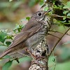 This Gray-cheeked Thrush provided another fine identification study we could compare with Hermit and Wood thrushes as well as Veery. Photo by Bret Whitney.