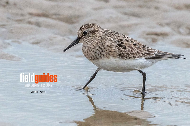 """Guide John Coons and group re-launched our tour schedule in mid-April with the first of our <a href=""""https://fieldguides.com/bird-tours/texas-coast/"""" target=""""_blank""""><span class=""""slideshow_tourlink3"""">TEXAS COAST MIGRATION SPECTACLE</span></a>  tours, and it was wonderful to be back out in the field again! Participant Judie Dunn captured this fine image of a Baird's Sandpiper, among the nice variety of shorebird species we observed on the tour."""