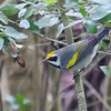 High Island on the coast is famous for its migrant fallouts and the diversity of species that can be see there. This Golden-winged Warbler photographed by Bret Whitney was among the landbird highlights for the group there.