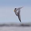A graceful portrait of a diminutive Least Tern by Bret Whitney.