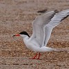 Forster's Tern was one of numerous species of gull, terns, and other coastal waterbirds we saw in abundance. Photo by Bret Whitney.