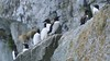 As one gets closer to the islands, the birds become more apparent. Here is a shot of murres along an edge, with most being the expected Common Murre. At the far right is a Thick-billed Murre too. Photo by guide Dave Stejskal.