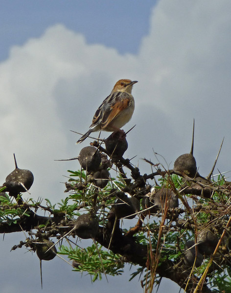 Winding Cisticolas, too, got all wound up and delivered their insectlike songs. Photo by participant Juergen Schrenk.