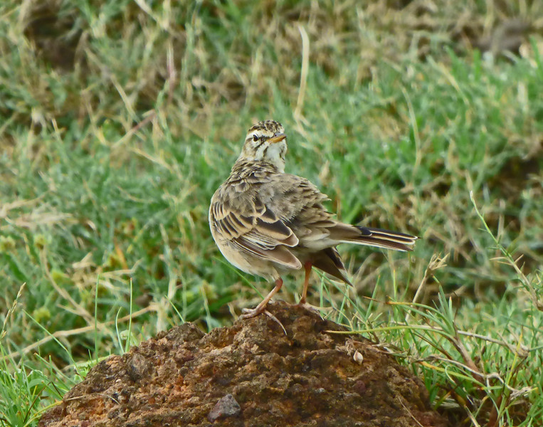 Plain-backed Pipits likewise were in song and were especially abundant in the Serengeti. Photo by participant Juergen Schrenk.