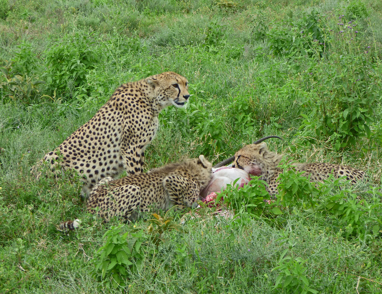 Near Naabi Hill in the Serengeti, Terry and group connected well with Cheetah! This family enjoying a fresh kill created a memory to last a lifetime. Regrettably, this was one of three Field Guides tours cut short by border closures in early spring, but Terry reports it was a wonderful experience nonetheless. Photo by participant Juergen Schrenk.