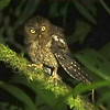This Bare-shanked Screech-Owl near Orosi clearly had not read the <i>Owls' Guide to Birders</i>--it materialized within mere minutes, exposed its bare shank, posed for photos, and Jay and group got some bonus extra sleep! Photo by participant Dave Czaplak.