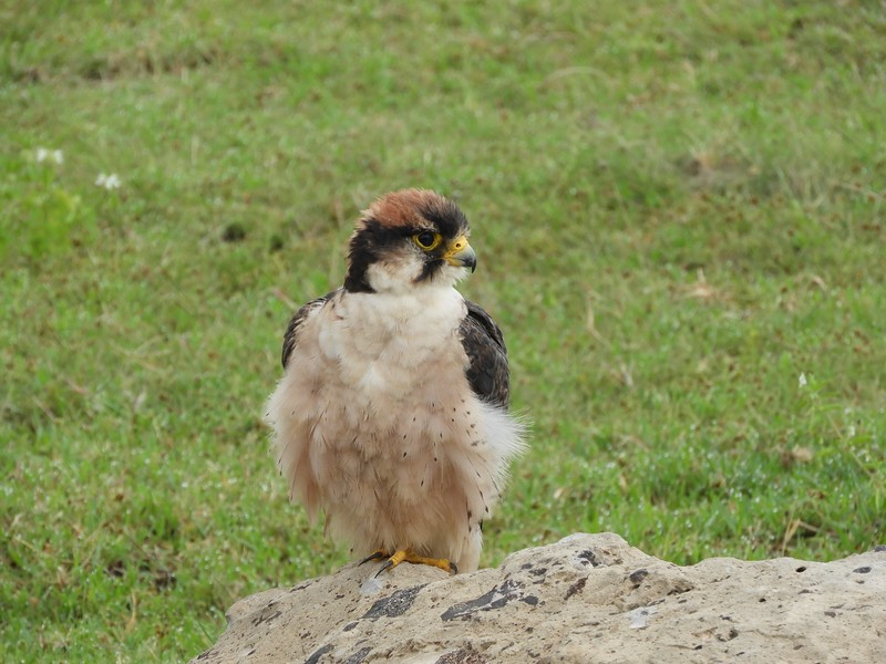 And of course, the birdlife was likewise plentiful. This adult Lanner Falcon posed well for the group and simply wouldn't fly off. Photo by guide Terry Stevenson.