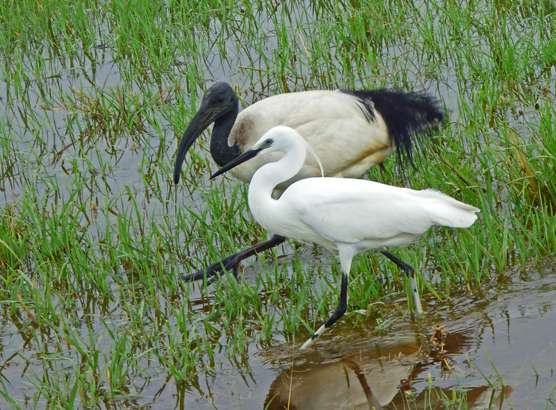 The rains also meant that a wonderful assortment of wading birds had materialized to take advantage of temporary wetlands, among them this African Sacred Ibis and Little Egret. Photo by participant Juergen Schrenk.